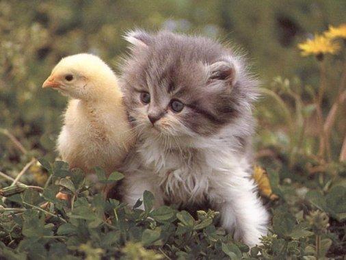 awww.swapmeetdave.com_Humor_Cats_Kitten_Duck.jpg