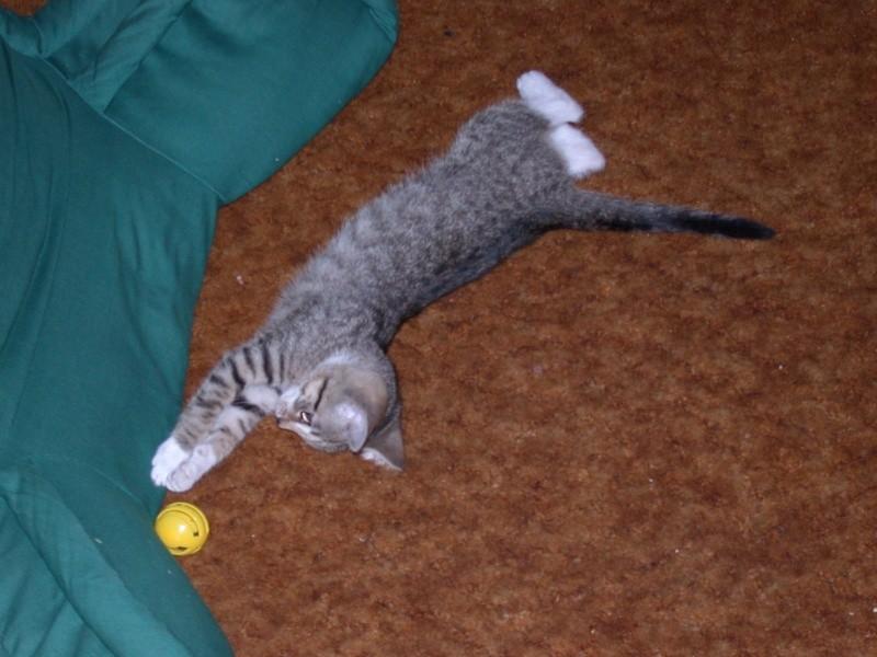 awww.newartillery.com_photog_random_kitten_stretch.jpg