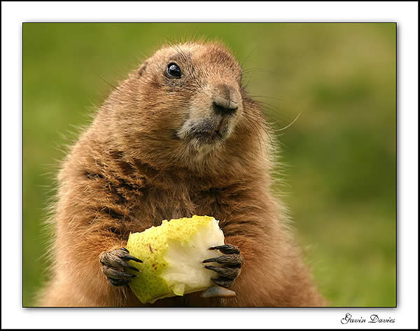 awww.photographyblog.com_images_photo_of_the_week_16220505_Marmot.jpg