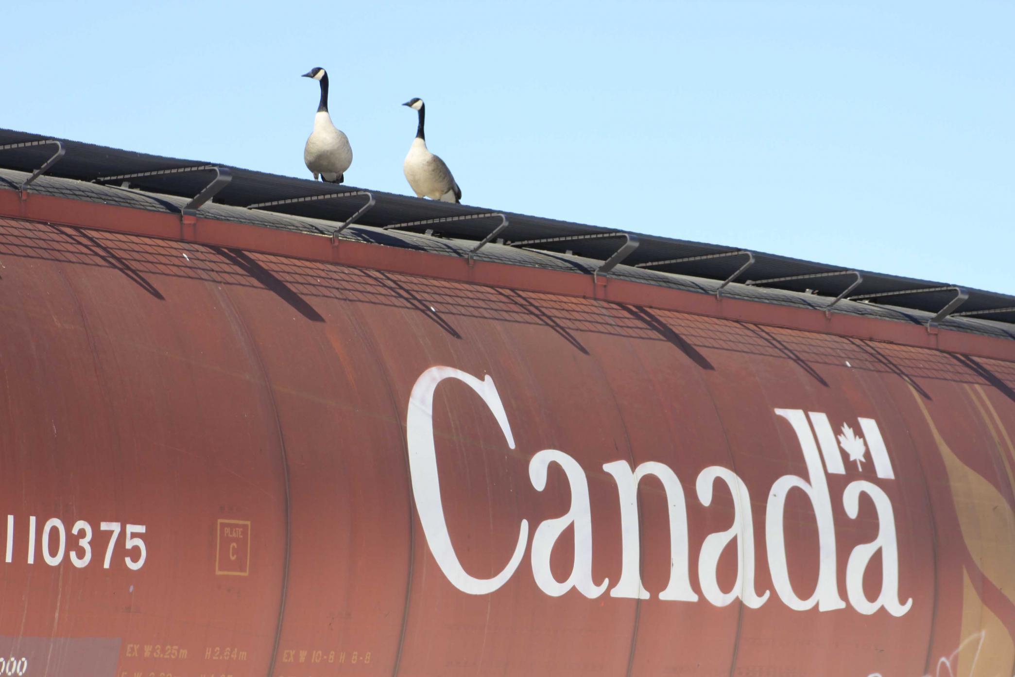 Canada Geese.jpg