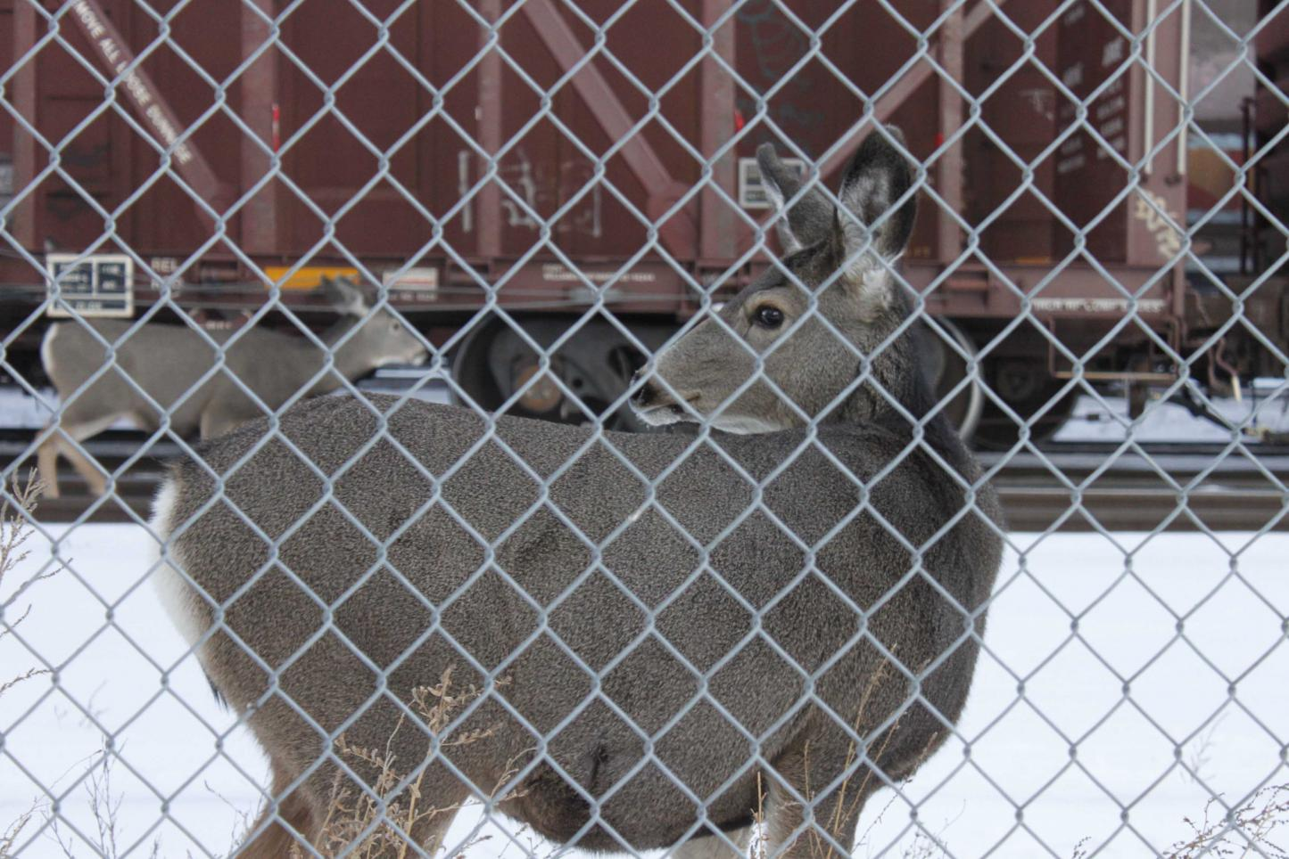 Deer behind Fence.jpg