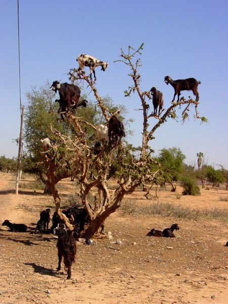 african-goats-in-tree-450x600.jpg