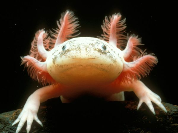 aimages.nationalgeographic.com_wpf_media_live_photos_000_007_cache_mexican_axolotl_780_600x450.jpg